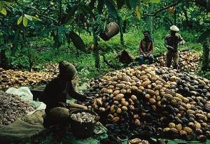 Récolte des cabosses de cacao